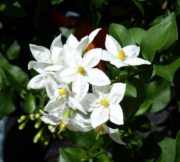 Solanum 'Butterfly'