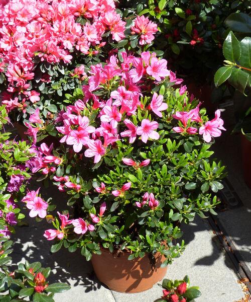 Rhododendron 'Rosa Bella'
