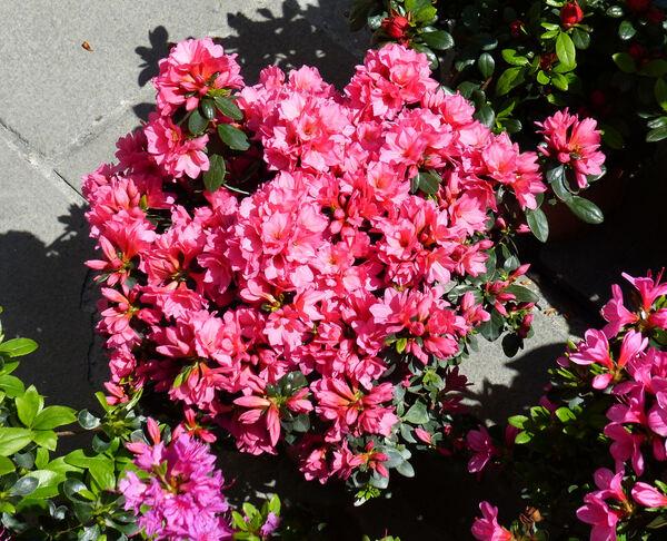 Rhododendron 'Kirin F 14'