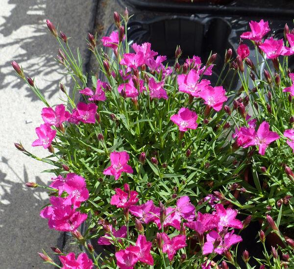 Dianthus 'Waikiki Pink'