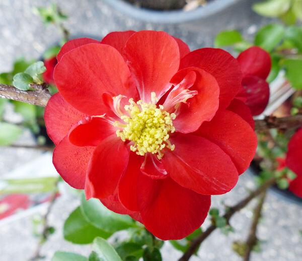 Chaenomeles speciosa (Sweet) Nakai 'Scarlet Storm'