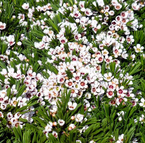 Chamelaucium sp.