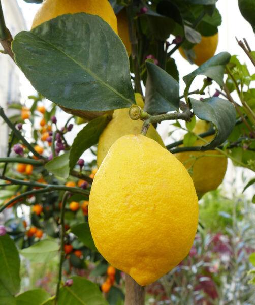 Citrus x limon (L.) Osbeck 'Quattro Stagioni'