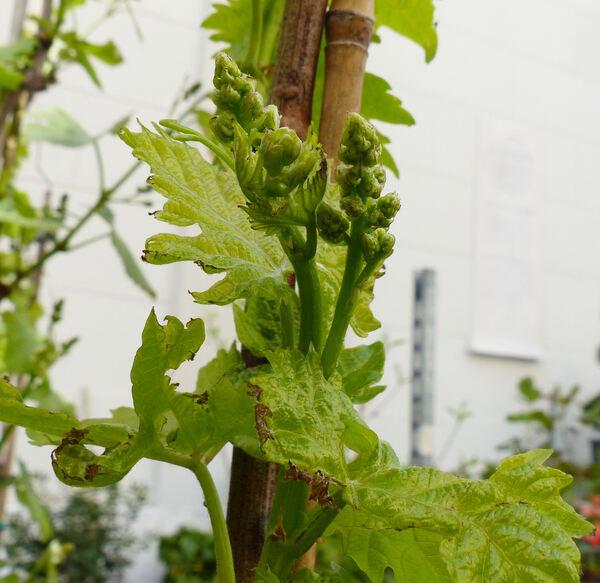 Vitis vinifera L. 'Italia'