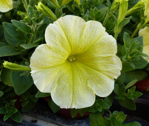 Petunia 'Veranda™ Yellow'