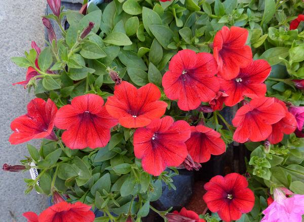 Petunia 'Surfinia® Deep Red'