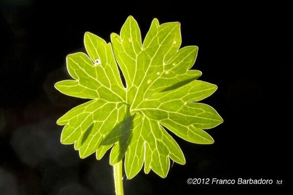 Ranunculus apenninus (Chiov.) Pignatti