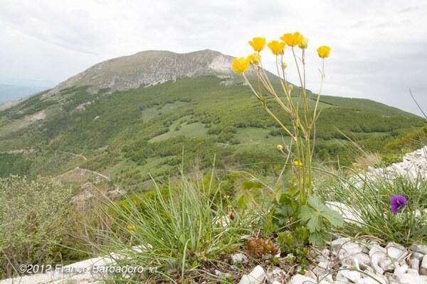 Ranunculus breyninus Crantz