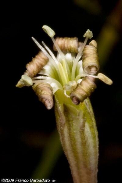 Silene multicaulis Guss. subsp. multicaulis