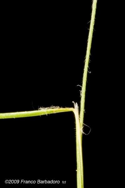 Trisetaria villosa (Bertol.) Banfi & Soldano