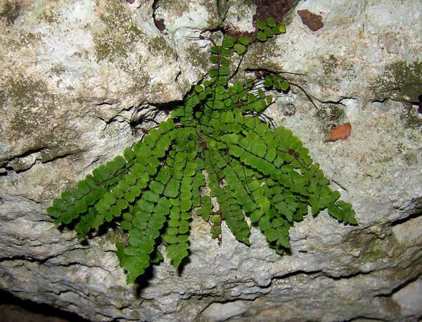 Asplenium trichomanes L. subsp. inexpectans Lovis