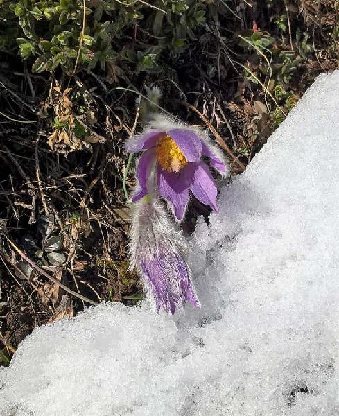 Pulsatilla halleri (All.) Willd. subsp. halleri