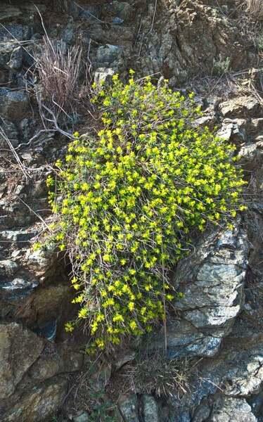 Euphorbia spinosa L. subsp. ligustica (Fiori) Pignatti