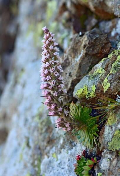 Saxifraga florulenta Moretti