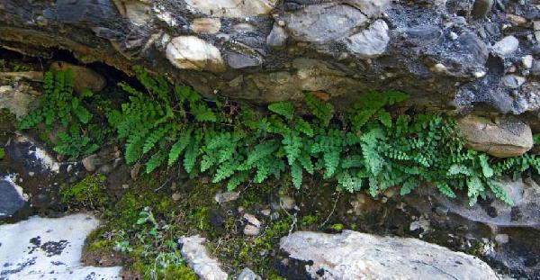 Asplenium petrarchae (Guérin) DC. subsp. petrarchae