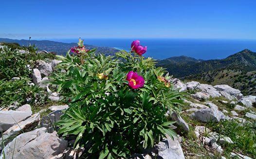 Paeonia officinalis L. subsp. huthii Soldano