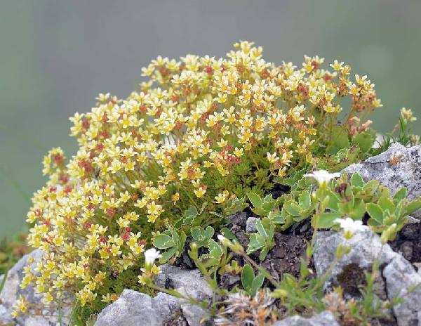Saxifraga exarata Vill. subsp. moschata (Wulfen) Cavill.