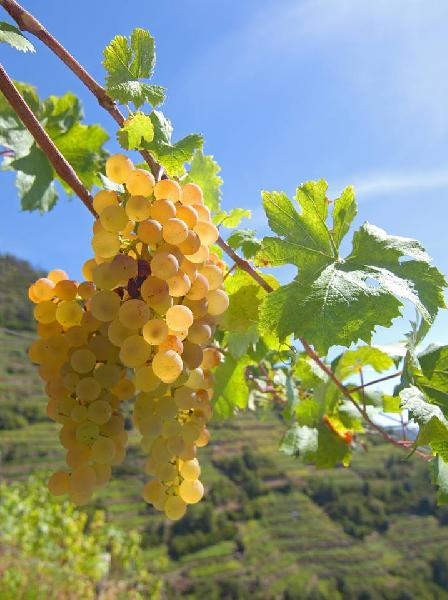Vitis vinifera L. 'Vermentino'