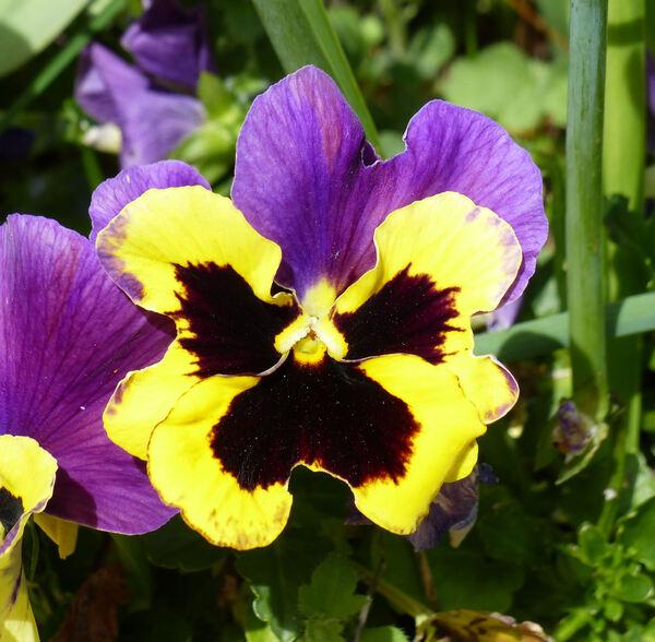 Viola cornuta L.