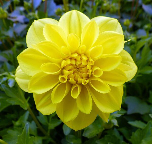 Dahlia 'Nane Cultivars'