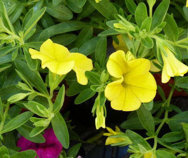 Calibrachoa 'Superbells® Unique Golden Yellow'