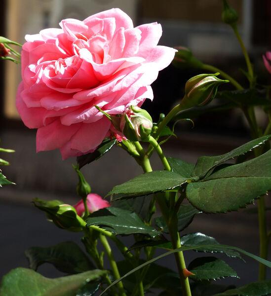 Rosa 'Mamma Mia'