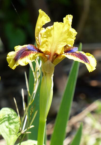 Iris 'Celsius'