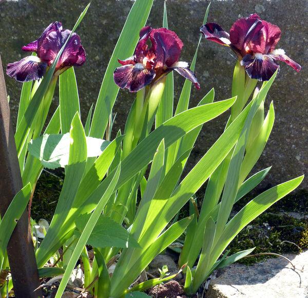 Iris 'Sangue di Drago'