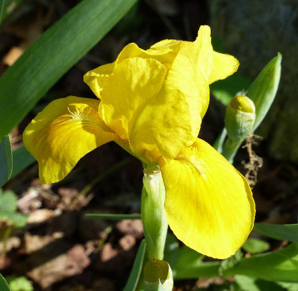 Iris 'Blitz'