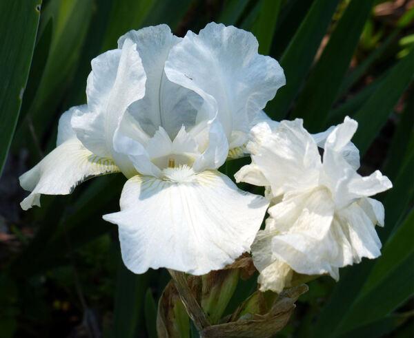 Iris 'Low Ho Silver'