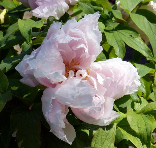 Paeonia suffruticosa Andrews 'Fragrans Maxima Plena'