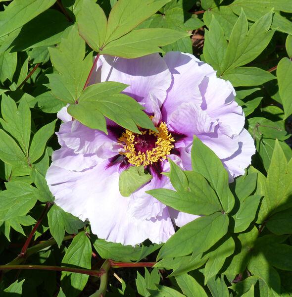 Paeonia 'Chojuraku'