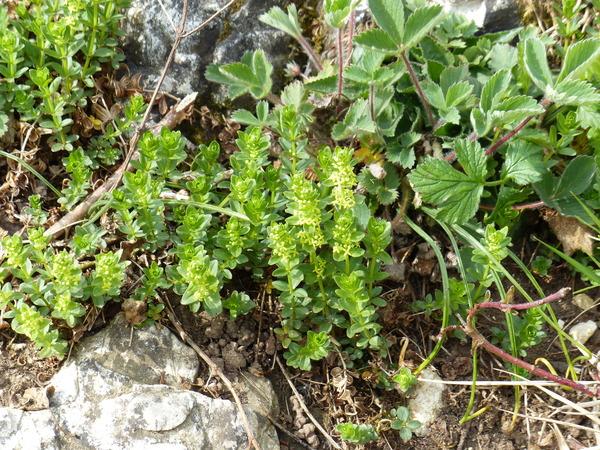 Cruciata glabra (L.) C.Bauhin ex Opiz