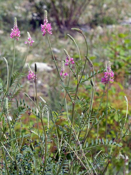 Onobrychis viciifolia Scop.