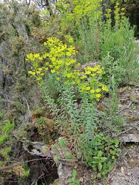Euphorbia biumbellata Poir.