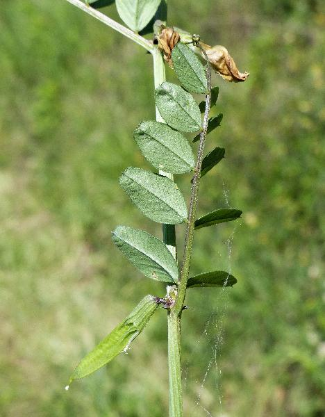 Vicia grandiflora Scop.