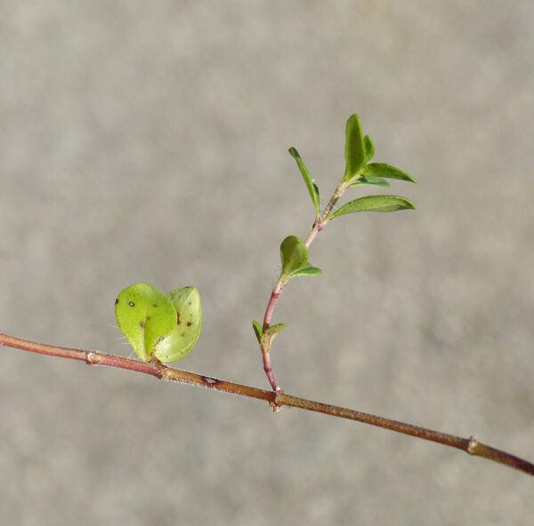 Thymus pulegioides L.