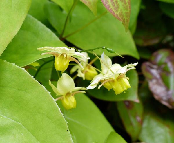 Epimedium × versicolor hort. 'Sulphureum'