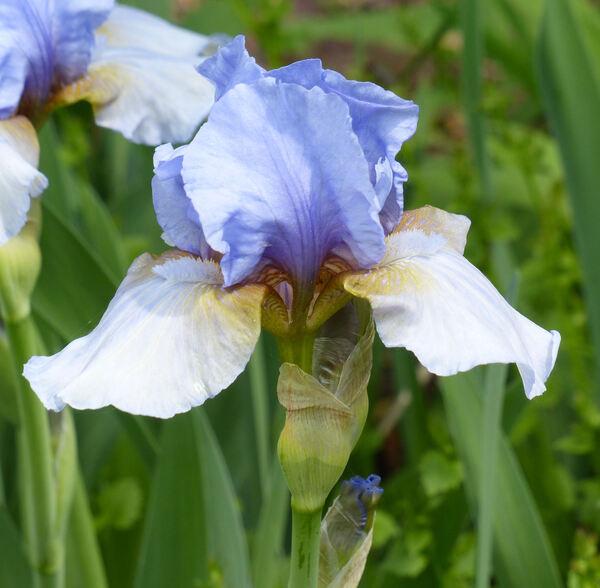 Iris 'Thumkin'