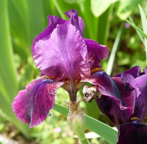 Iris 'Sultan's Palace'