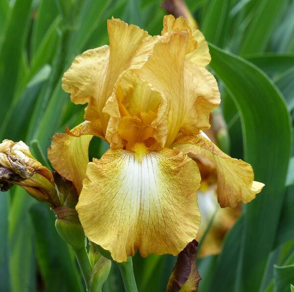 Iris 'Chinquapin'