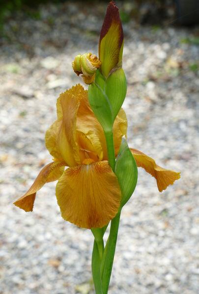 Iris 'Allaglow'