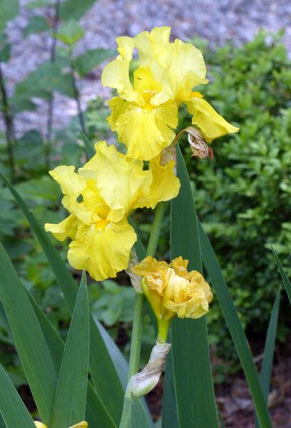 Iris 'Borderline'