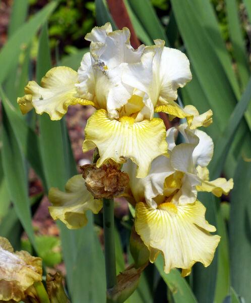 Iris 'Luna di Miele'