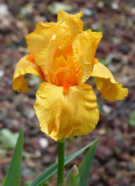 Iris 'Skyfire'