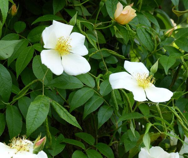 Rosa x odorata (Andrews) Sweet nothovar. gigantea (Collett ex Crép.) Rehder & E. H. Wilson 'Montecito'