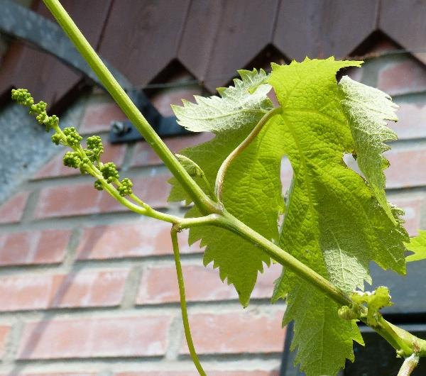 Vitis vinifera L. 'Cardinal'