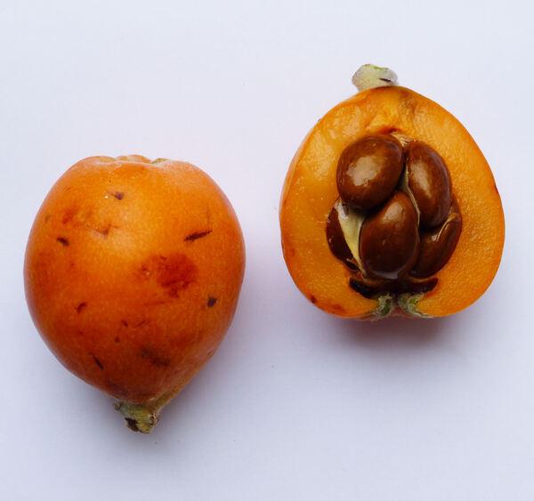 Eriobotrya japonica (Thunb.) Lindl. 'Golden'
