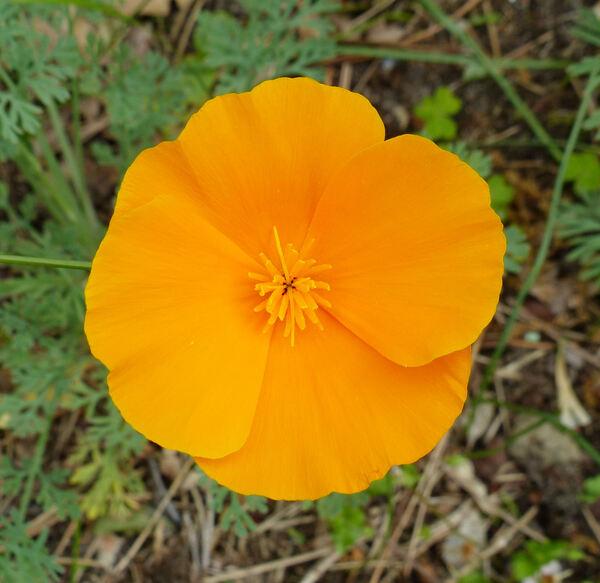 Eschscholzia californica Cham. subsp. californica