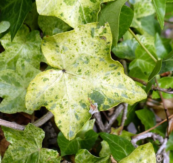 Hedera helix L. 'Golden Pittsburgh'